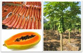 Carica papaya มะละกอสุก ดีท็อกซ์ผลไม้