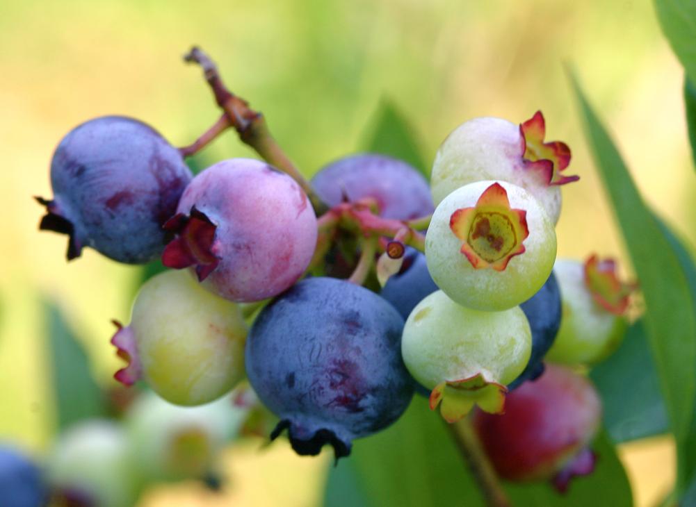 บลูเบอร์รี่ Patts Blue berries